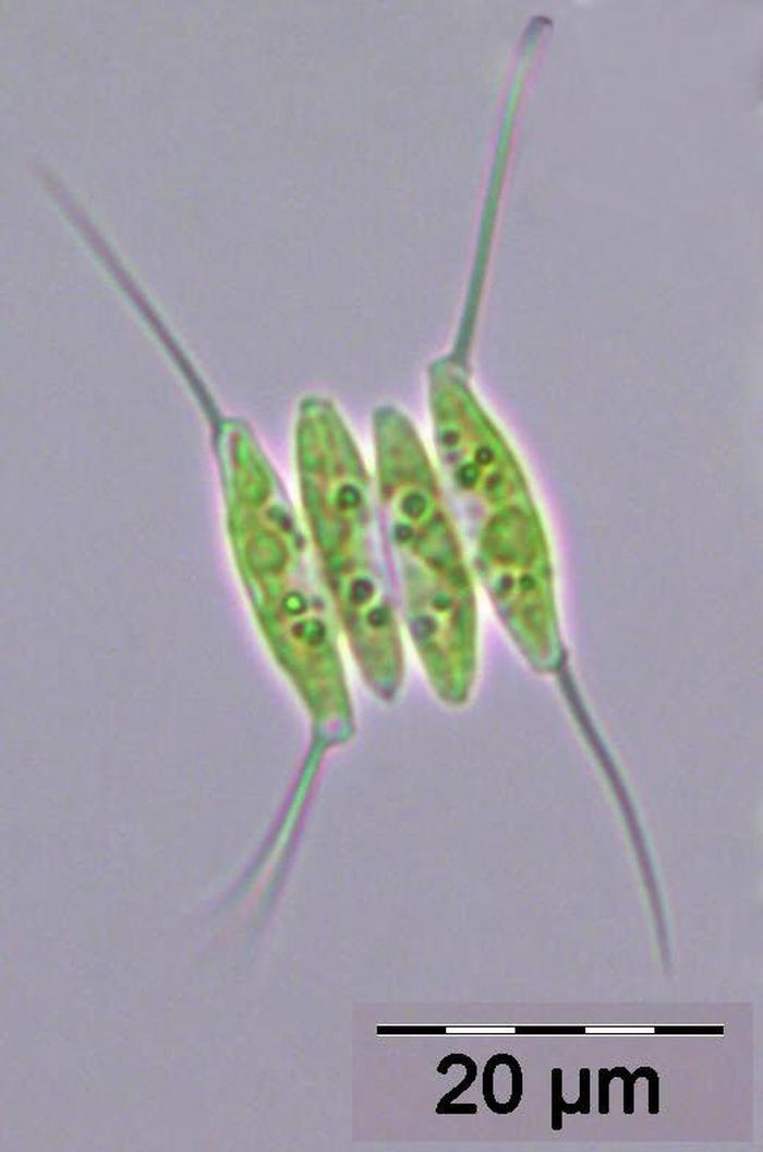 Desmodesmus Opoliensis P Richter Hegewald 2000