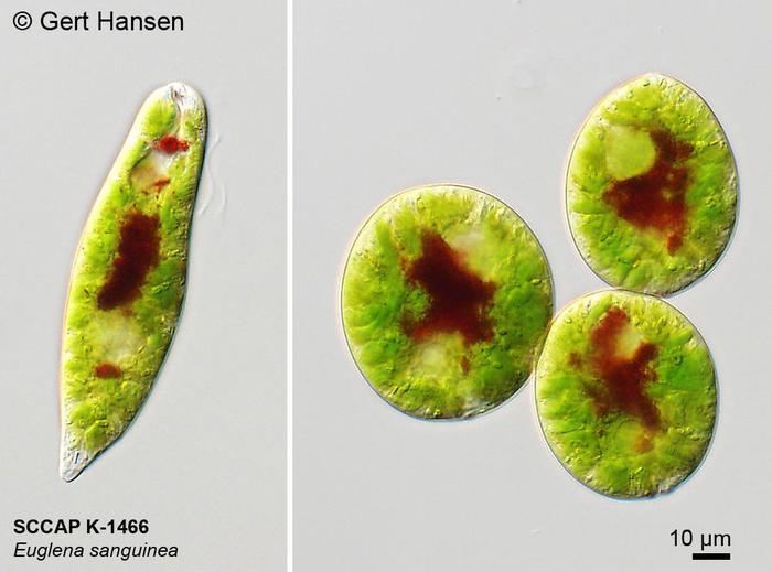 Euglena Sanguinea Ehrenberg