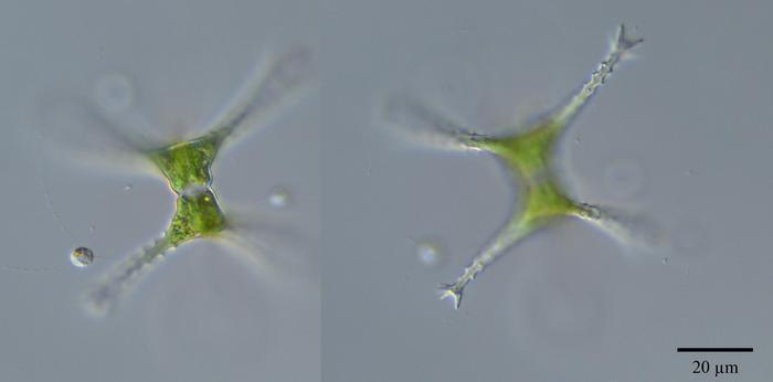 Staurastrum Longipes Nordst Teiling Nordic Microalgae