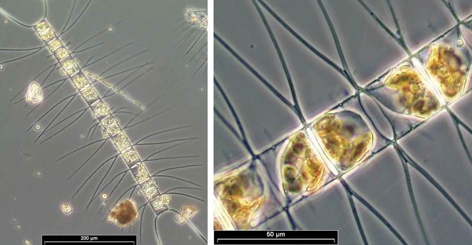 Chaetoceros decipiens P.T. Cleve, - 57.9KB