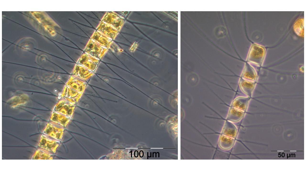 Chaetoceros decipiens P.T. Cleve, - 77.5KB