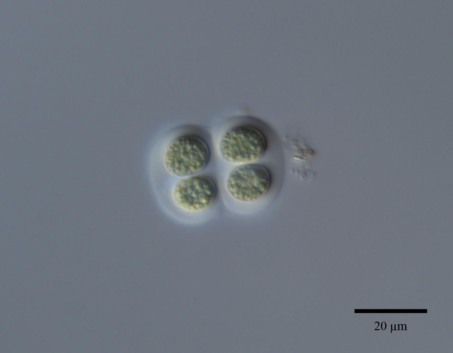 Chroococcus Minutus K 252 Tz N 228 Geli Nordic Microalgae