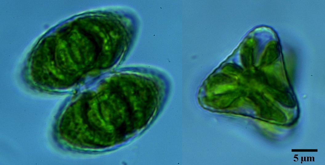 Staurastrum Punctulatum Br 233 B Nordic Microalgae